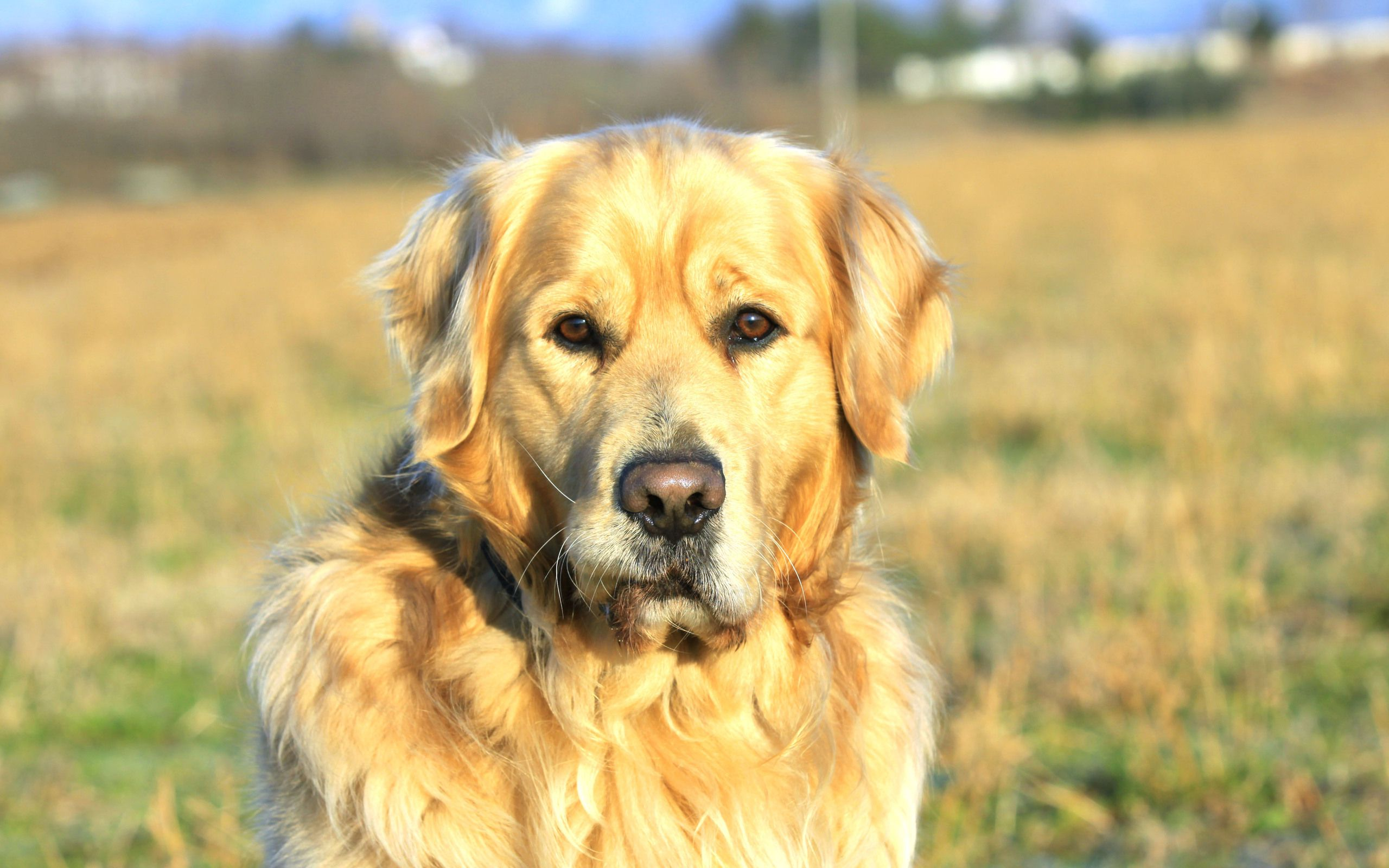 Old Golden Retriever Wallpaper