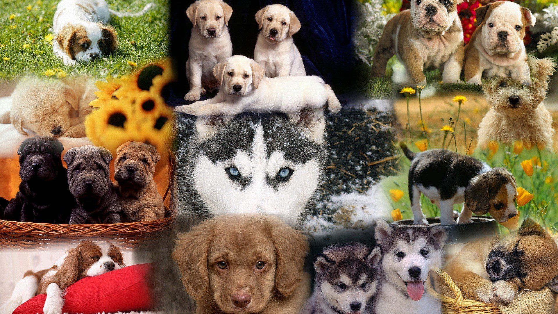 Various Dog Breeds Wallpaper